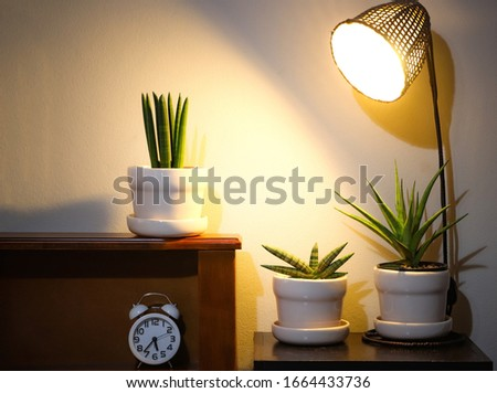 Three plant pots of Sansevieria plant  or snake plant on night table with lamp and clock  .air purifying plant. Royalty-Free Stock Photo #1664433736