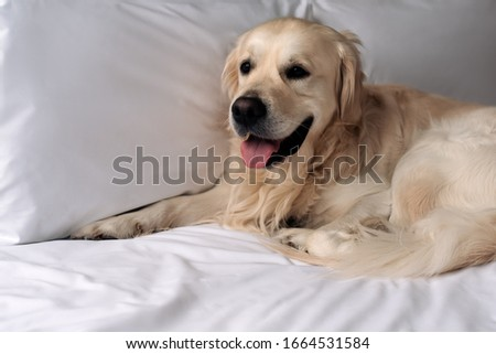 Happy Golden Retriever dog lying on a blanket in bed in the bedroom #1664531584