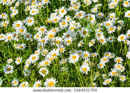 Beautiful meadow in springtime full of flowering daisies with white yellow blossom and green grass - oxeye daisy, leucanthemum vulgare, dox-eye, common daisy, dog daisy, moon daisy - concept garden #1664531704