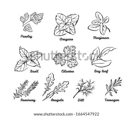 Set of herbs. Black and white vector illustration isolated. Outline leaves of Parsley, Oregano, Marjoram, Cilantro, Bay leaf, Dill, Basil, Rosemary, Tarragon, Arugula. Vector cartoon illustration.  #1664547922