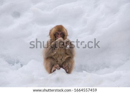 The Snow monkey in Japan #1664557459