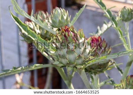 The beautiful artichoke flower, an exotic and medicinal plant. #1664653525