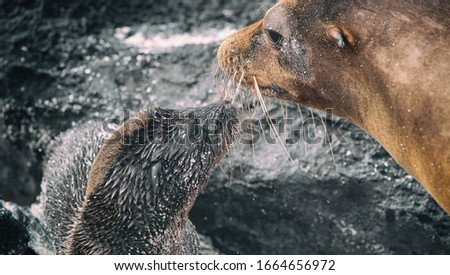 Galapagos Sea Lion cub playful playing in sand and water with adult sea lion lying on beach on Galapagos Islands. Animals and wildlife nature on Galapagos, Ecuador, South America. Cute animals. #1664656972