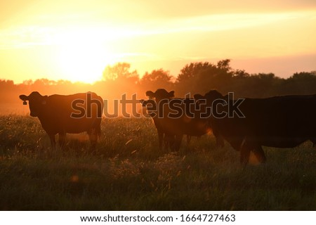 cattle grazing in the pasture at sunset Royalty-Free Stock Photo #1664727463