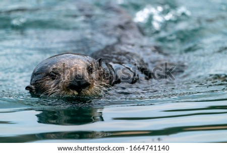 Close-up of a sea otter swimming in the water
