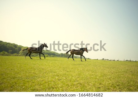 View of horses running in an open field, German warm blood horse #1664814682