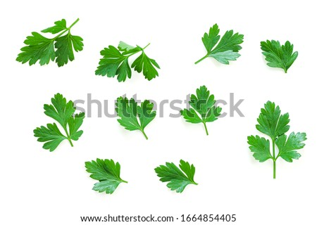 Parsley herb set. Parsley isolated on white background. Parsley on white. #1664854405