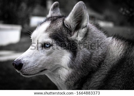 picture of siberian husky with blue eyes