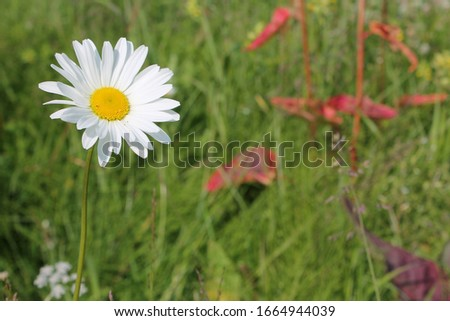 Picture of oxeye daisy herb. Herbal medicine, tea and infusion, natural cosmetics ingredient. Ecological plant. Nature spring background