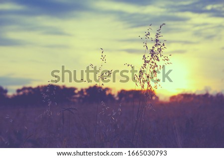 Field of oat during sunset.Oat stems on a background of setting sun and sunset colorful sky.Tranquil natural background. #1665030793
