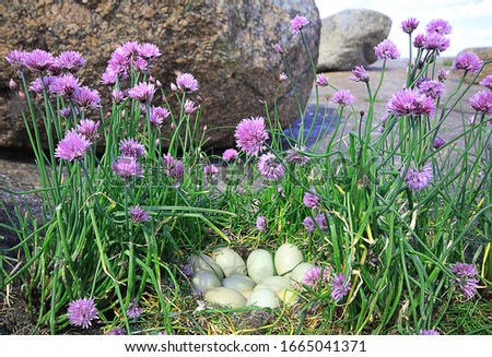 Beautiful wild onion (Chive, Allium schoenoprasum) and nest of Tuffted Duck. Granite island in Eastern part of Baltic sea (ice-dressed rock). Food and ornamental plant, pink-purple flower Royalty-Free Stock Photo #1665041371