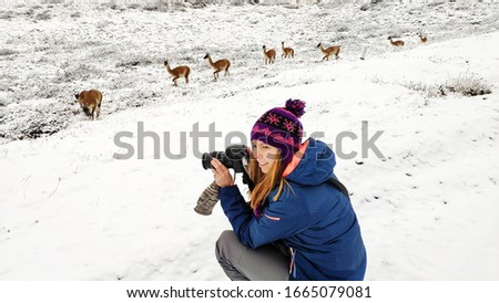 Girl tourist photographer takes a picture of guanaco lama in Patagonia in Torres del Paine National Park, in the south of the Chili province Magallanes Region and Antartica Chilena, Puerto Natales