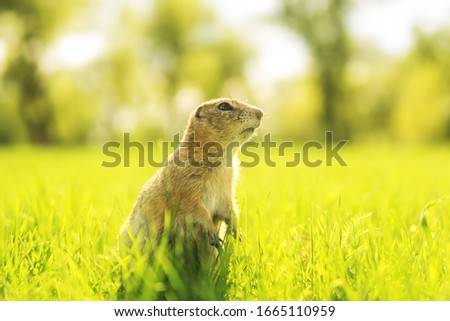 marmot in the grass. Gopher portrait in sunny meadow.