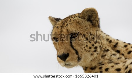 A close up of a middle aged Cheetah - Cornells Skop Bot River Cape Town South Africa