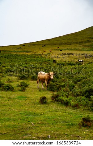 Herd of cows nad bulls grazing in field. Picture of cattle