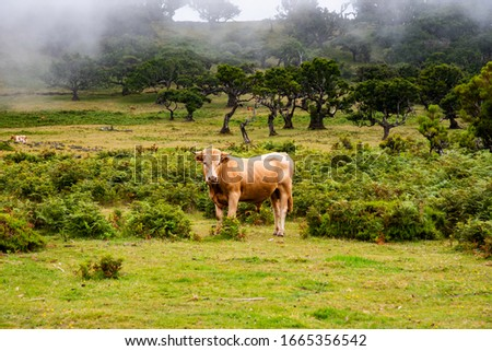 Bull on the meadow photo wallpaper. Picture of bull