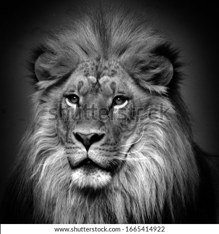 Male lion: Highly distinctive, the male lion is easily recognized by its mane, and its face is one of the most widely recognized animal symbols in human culture.  #1665414922