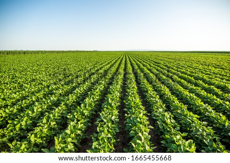 Green soybean field in Vojvodina,Serbia. Agricultural landscape. #1665455668