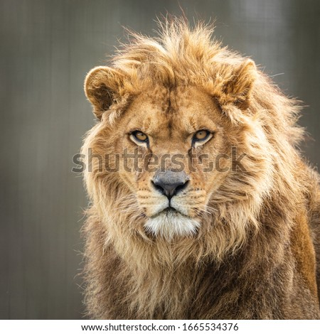 Portrait of a lion in the forest