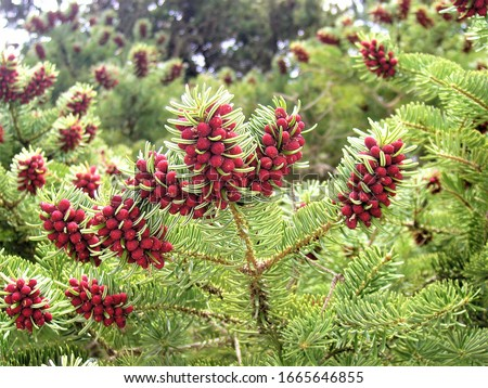 Engelmann spruce: a species of spruces, also known as white spruce, mountain spruce, silver spruce, its botanical name is Picea engelmannii #1665646855