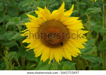sunflower solitaire blosseom with bee #1665753697