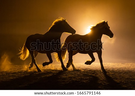 Silhouette of two galloping Haflinger Horses in a orange smokey atmosphere, against the light