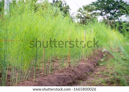 Plant with small green leaves of Edible Asparagus, Garden Asparagus or Asparagus Officinalis are growing in the field, Planting vegetables and agriculture in Thailand #1665800026