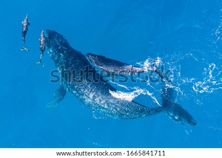 Humpback whales photographed with aerial drone off the coast of Kapalua, Hawaii. Mother whale and her calf splash in the warm Pacific waters as two dolphins join in on then fun.