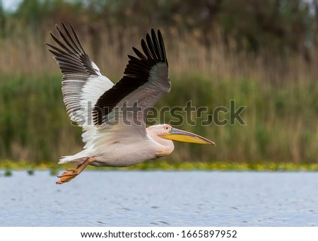 Great white pelican, or Eastern white pelican, or Rosy pelican, or White pelican (Pelecanus onocrotalus) in breeding plumage flying in its natural aquatic habitat; the Danube Delta in Romania. Royalty-Free Stock Photo #1665897952