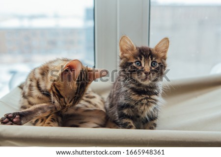 Two cute bengal kittens gold and chorocoal color laying on the cat's window bed and relaxing. Sunny seat for cat on the window. #1665948361
