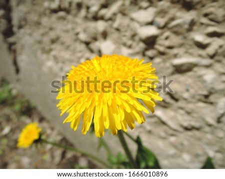 Macro Photo of a dandelion plant. Dandelion plant with a fluffy yellow bud. Yellow dandelion flower growing in the ground. Dandelion with plant Lamium purpureum.