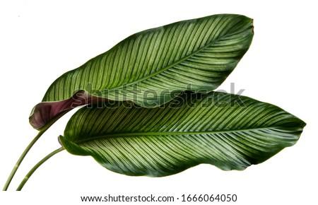 Calathea ornata leaves(Pin-stripe Calathea),Tropical foliage isolated on white background. #1666064050