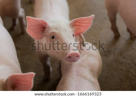 Small pigs at the farm,swine in the stall. group of piglets indoor a farm yard at Thailand Meat industry. #1666169323
