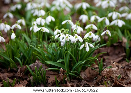 Flowers snowdrops in garden, sunlight. First beautiful snowdrops in spring.  Common snowdrop blooming. Galanthus nivalis bloom in spring forest.  #1666170622