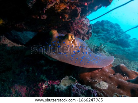 Picture of a blue spotted Stingray