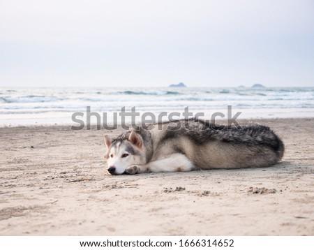 siberian husky dog on the huahin sea beach, lie down on soft sand and seeking the travelor in the monday morning with sweet sun light shining into sea beach area.