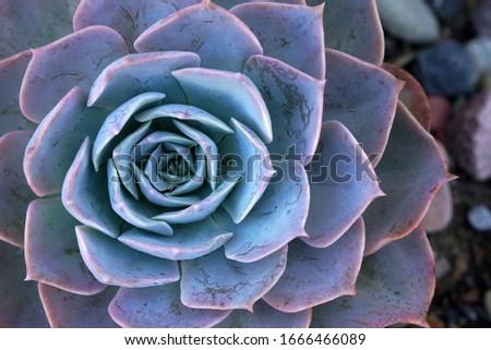 Close-ups blue fresh Succulent echeveria plant - Texture background - blue nature concept , Floral backdrop and beautiful detail - Flat lay #1666466089