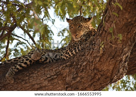 Leopard in a tree.  Ruaha National park Tanzanian Safari #1666553995