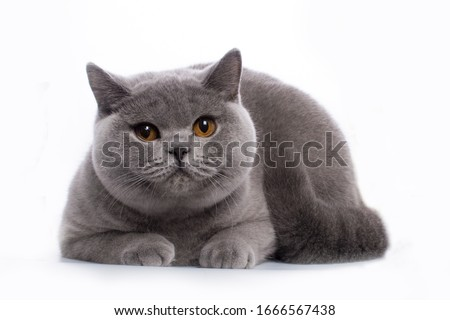 British Shorthair blue young cat with orange eyes on a white background isolate Royalty-Free Stock Photo #1666567438