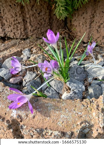Some purple blooming crocus plants in spring #1666575130