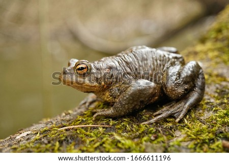 The common toad, european toad