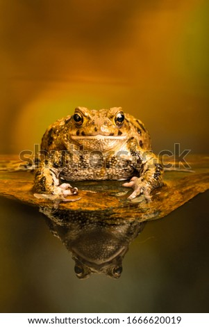 Common toad (Bufo Bufo) also known as European toad is an amphibian found in Europe, western part of North Asia and Northwest Africa.