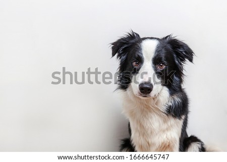 Funny studio portrait of cute smilling puppy dog border collie isolated on white background. New lovely member of family little dog gazing and waiting for reward. Funny pets animals life concept #1666645747