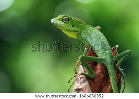 Green lizard on branch, green lizard sunbathing on branch, green lizard  climb on wood, Jubata lizard Royalty-Free Stock Photo #1666656352