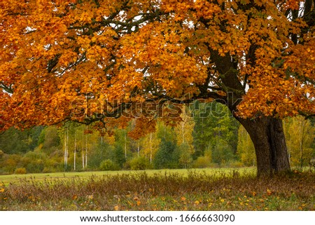Autumn at the Latvia. Golden maple at the hill, dry grass, colorful forest #1666663090