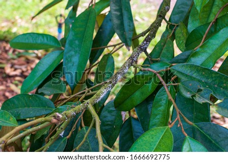 Durian leaves with insects in the garden, problems of agriculture in Thailand #1666692775