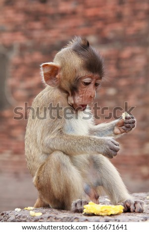 cute macaque sitting on a brown background. #166671641