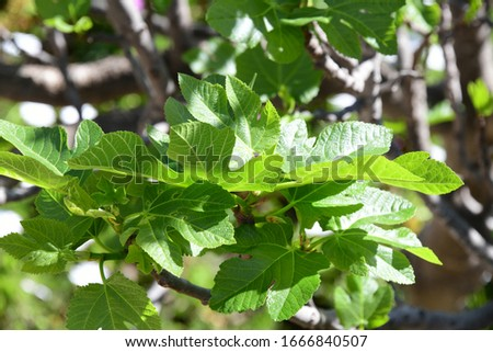the first delicate fig leaves on the fig, Alicante Province, Costa Blanca, Spain #1666840507