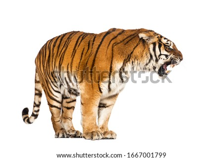 Tiger standing and growling, big cat, isolated on white Royalty-Free Stock Photo #1667001799