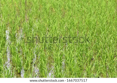 The green rice field background #1667037517